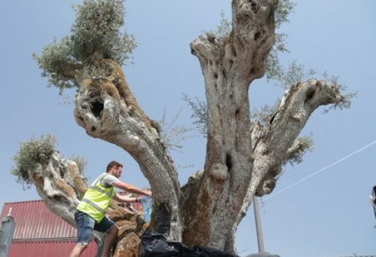 1,400-year-old olive trees transplanted to Dubai's The World