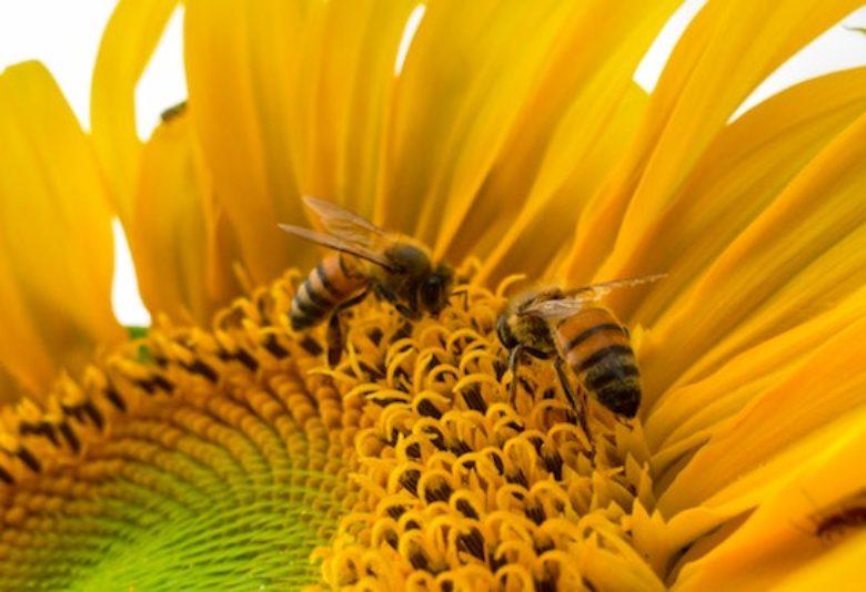 Killer Pesticides Decimating Bee Populations in Brazil